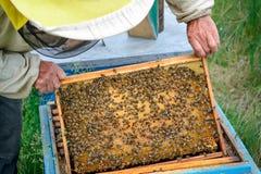Der Imker betrachtet die Bienenfamilie Feld mit Arbeitsbienen und Larven von Bienen Stockfotografie