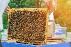 Der Imker betrachtet die Bienenfamilie Feld mit Arbeitsbienen und Larven von Bienen Stockbild