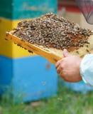 Der Imker hält in der Hand einen Rahmen mit Bienenwaben und Bienen Stockfotografie