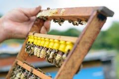 Der Imker kontrolliert einen Rahmen, der neue Bienenköniginnen züchtete Karl Jenter Bienenzucht Stockbilder
