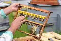 Der Imker kontrolliert einen Rahmen, der neue Bienenköniginnen züchtete Karl Jenter Bienenzucht Lizenzfreie Stockfotografie
