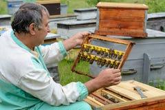 Der Imker kontrolliert einen Rahmen, der neue Bienenköniginnen züchtete Karl Jenter Bienenzucht Stockfotos