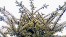 Der immergrüne Baum des Details Abies alba stockfoto