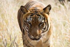 Der INDISCHE Tiger Lizenzfreies Stockfoto