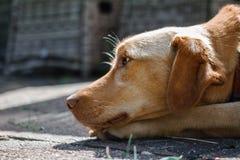 Der Ingwerhund schaut seitlich mit einem traurigen Blick Stockfotos