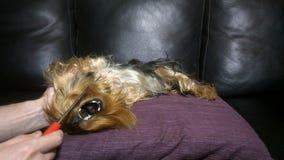 Der Inhaber bürstet Ihr Yorkshire Terrier stock video