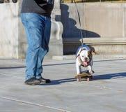 Der Inhaber unterrichtet das Skateboard fahren der englischen Bulldogge Stockbild