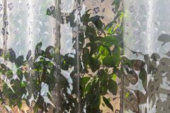 Der Innenraum ist 3 Sun scheint durch das Tulle und die Blumen auf dem Fensterbrett stockfoto