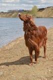 Der Irische Setter auf der Flussbank Lizenzfreies Stockfoto