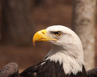 Der ist Herr Eagle zu Ihnen Lizenzfreies Stockbild