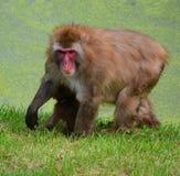 Der japanische Macaque Stockfotos