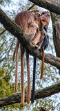 Der Javan-Langur (Trachypithecus-auratus) Lizenzfreies Stockfoto