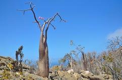Der Jemen, Socotra, Flaschenbäume (Wüstenrose - Adenium obesum) Lizenzfreies Stockfoto