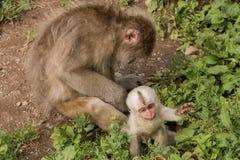 Der Jigokudani-Affe-Park ist ein großer Platz, zum von Affen in Ja zu sehen Stockfotografie