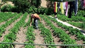 der Junge überprüft junge Entweichen von Kartoffeln auf Vorhandensein von Wreckers