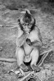 Der junge Affe, der einiges isst, verlässt Lizenzfreie Stockfotos