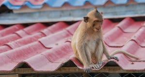 Der junge Affe sitzt allein auf dem Dach des Hauses Stockfotografie