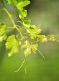 Der junge Baum des Weinbergs Stockfotos