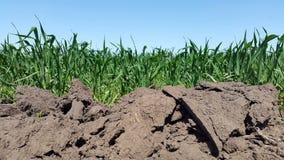 der junge grüne Weizenanbau in der Erde Hintergrund Stockbilder