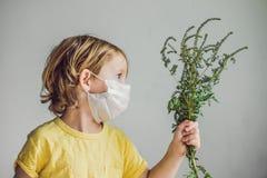 Der Junge ist zum Ragweed allergisch In einer medizinischen Maske hält er einen Ragweedbusch in seinen Händen Allergie zum Ambros lizenzfreie stockfotografie