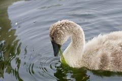 Der junge Schwan isst die Algen Stockfotografie