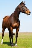 Der junge Stallion Stockbild