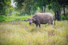 Der junge Wasserbüffel ist Halt das Gras essend und zu schauend Stockbilder
