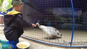 Der Junge zieht die Vögel im Zoo ein stock video footage