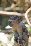 Der Junges vervet Affe Stockfoto