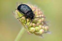 Der Käfer auf einer Knospe Lizenzfreie Stockfotos