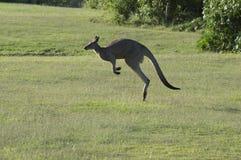 Der Känguru springend entlang das grüne Feld Lizenzfreie Stockfotos