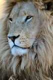 Der König der Tiere. Stockfotografie