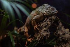 Der König Iguana stockbilder