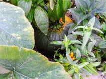 Der Kürbis im Garten stockfotos
