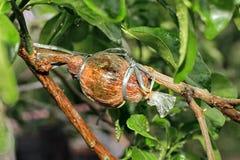 Der Kaffirkalk, der für Ausbreitung verpflanzt stockfotos