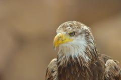Der kahle Adler Lizenzfreies Stockbild