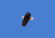 Der kahle Adler Lizenzfreie Stockfotografie