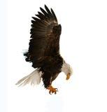 Der kahle Adler (Haliaeetus leucocephalus) Lizenzfreie Stockbilder
