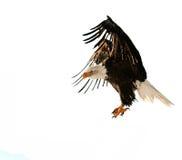 Der kahle Adler (Haliaeetus leucocephalus) Lizenzfreies Stockfoto