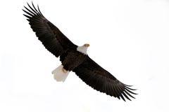 Der kahle Adler (Haliaeetus leucocephalus) Lizenzfreies Stockbild