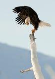 Der kahle Adler (Haliaeetus leucocephalus) Lizenzfreie Stockfotos