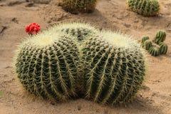 Der Kaktus Lizenzfreies Stockbild