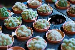 Der Kaktus Lizenzfreie Stockfotos