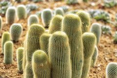 Der Kaktus Stockfotografie