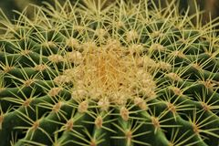 Der Kaktus Lizenzfreie Stockfotografie