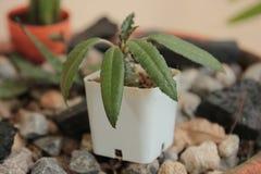 Der Kaktus Lizenzfreie Stockbilder