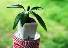 Der Kaktus Lizenzfreies Stockfoto