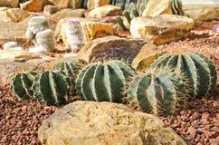 Der Kaktus auf Wüste Lizenzfreies Stockbild