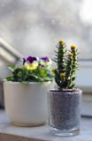 Der Kaktus ist auf dem Fenster im kleinen Topf wachsend Stockfotografie