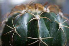 Der Kaktusabschluß herauf Hintergrund stockfotografie